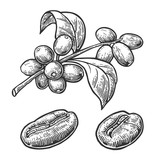 Coffee bean, branch with leaf and berry. Hand drawn vector vintage engraving illustration  on white background