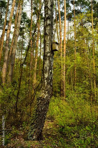 Krzywa brzoza w lesie