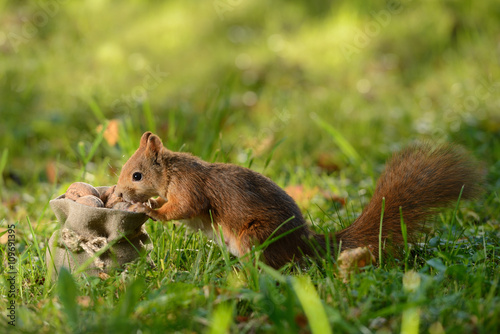 Tuinposter Eekhoorn Squirrel sitting near a bag with nuts