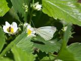 butterfly on flower strawberries