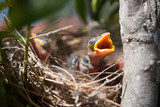 A baby Native Noisy Miner in its nest squawking for food