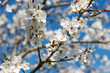 Plum tree in blossoms.