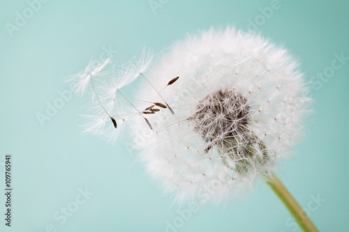 Zdjęcia na płótnie, fototapety na wymiar, obrazy na ścianę : Beautiful dandelion flowers with flying feathers on turquoise background, vintage card, macro