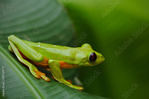 obraz lub plakat Flying Leaf Frog, Agalychnis spurrelli, green frog sitting on the leaves, tree frog in the nature habitat, Corcovado, Costa Rica