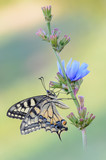 Papilio machaon on Cichorium intybus