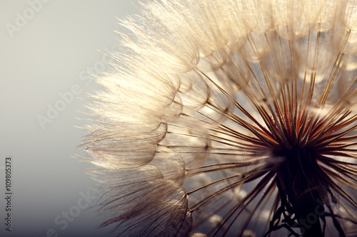 big dandelion on a blue background - 109805373