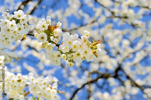 Üppig blühende Kirschzweige vor blauem Himmel Poster