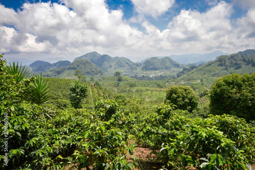 Foto op Plexiglas Indonesië Coffee plantations in the highlands of western Honduras with the crop ready to be harvested