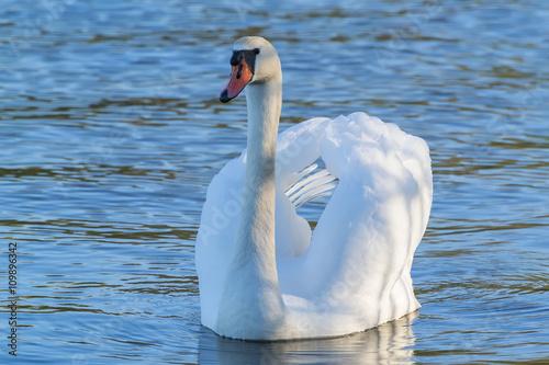 Fotobehang Swan on the Upper lake of Kaliningrad