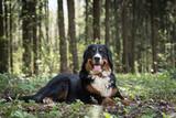 Бернский зенненхунд в лесу