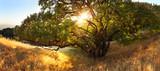 Beautiful tree at sunset on golden hillside