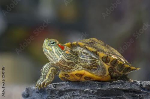 fototapeta na ścianę Turtle on a rock / Little turtle on a rock on a gray background with bokeh