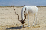 Scimitar horned antelope Addax (Addax nasomaculatus) is a wild native inhabitant of the Sahara desert. Due to danger of extinction it was  acclimatized in nature reserve near Eilat, Israel