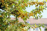 Apple garden / Garden of yellow apples in a nursing home