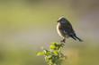 Linnet bird, Carduelis cannabina singing
