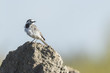 Closeup of a White Wagtail