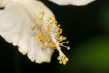 Closeup of colorful Hibiscus stigma or Carpel or Snowflake (Hibi - 109973737