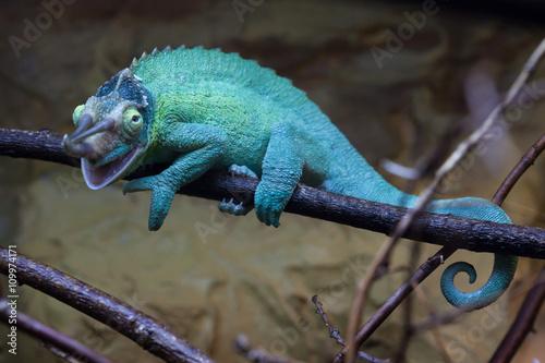 Jackson's chameleon (Trioceros jacksonii).