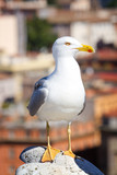 seagull on Rome background