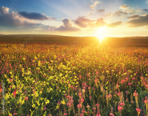 Fototapeta Field with flowers during sundown. Beautiful agricultural landscape in the summer time