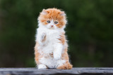 adorable red and white playful kitten outdoors