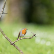 European Robin on branch