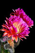 Постер, плакат: An Echinopsis Hybrid Trichocereus Hybrid commonly known as a Flying Saucer Two pink night blooming cactus flowers against a black night sky