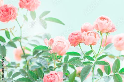 Fototapeta the sweet pink rose flowers for love romance background