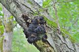 Medicinal mushroom (Inonotus obliquus) 5