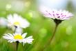 Gänseblümchen - Nahaufnahme - Frühlingswiese