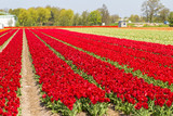 Deep red tulip field near village of Lisse in the Netherlands in May
