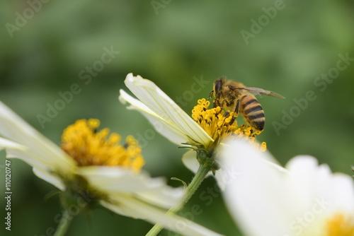 Zdjęcia na płótnie, fototapety, obrazy : Abeja recolectando polen