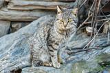 Felis silvestris catus. Gato doméstico.