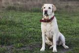 dog breed Labrador