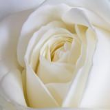 White Rose - 110148725