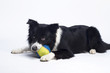 Border Collie (2 years old) - 110159395