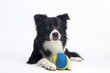 Border Collie (2 years old) - 110159572