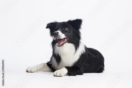 Poster Border Collie (2 years old)