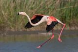 Landing greater flamingo (Phoenicopterus roseus), Camargue, France