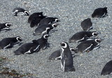 Magellanic penguins in the Beagle channel.
