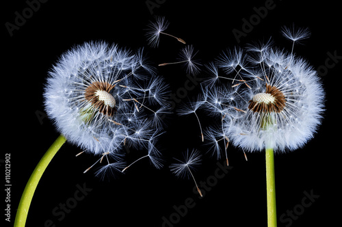 Silhouettes of Dandelions © bessi7