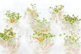 germinazione crescione