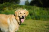 Golden Retriever dog in grass field