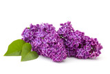 Blooming lilac flowers - 110283146
