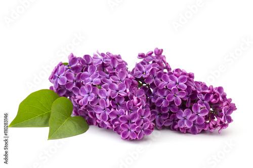 Blooming lilac flowers Plakat