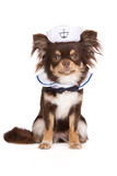 chihuahua dog in a sailor costume on white