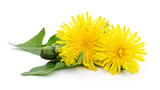 Fototapeta Dmuchawce - Two dandelions with leaves. © Anatolii