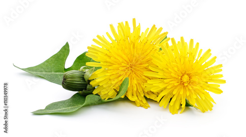 Two dandelions with leaves. - 110349978