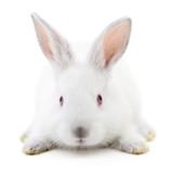 White bunny rabbit.