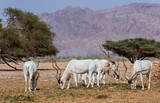 Curved horned antelope Addax (Addax nasomaculatus) is a wild native inhabitant of the Sahara desert. Recently it was introduced and adopted in nature reserve near Eilat, Israel